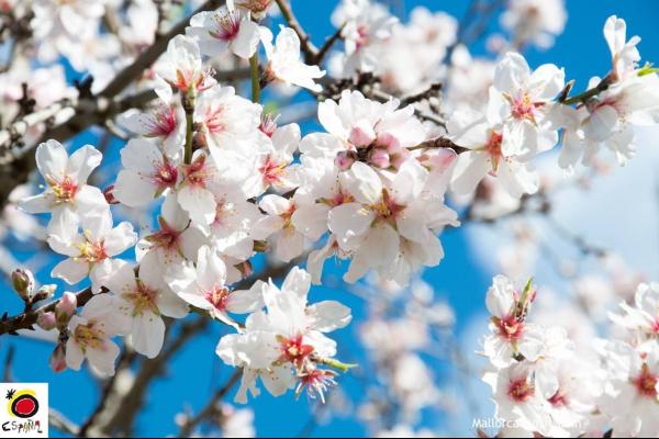 February Almond Blossom image 1