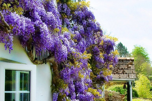 How to grow wisteria post image on the-journal.es